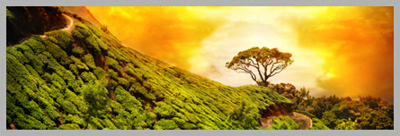 Munnar Tea Gardens, Tea Plantation in Munnar, Greenary of Kerala